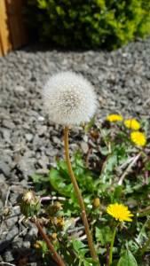 A dandelion seedhead