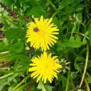 a bee on a dandelion flower